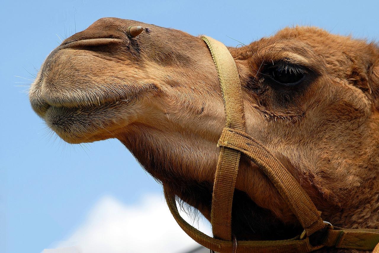 camel-1624643_1280
